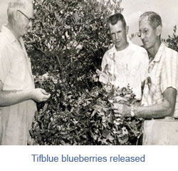 tifblue-blueberries